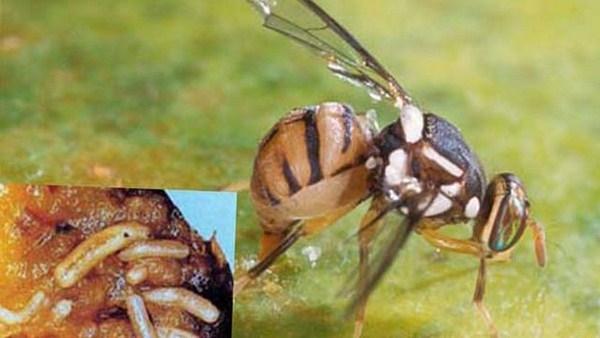 Cách bẫy diệt ruồi hiệu quả, an toàn